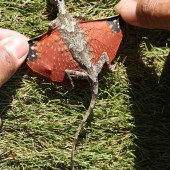 Dragon lizard from Indonesia